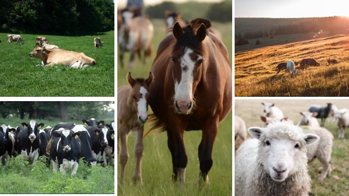 Horses, goats, sheep, cows grazing