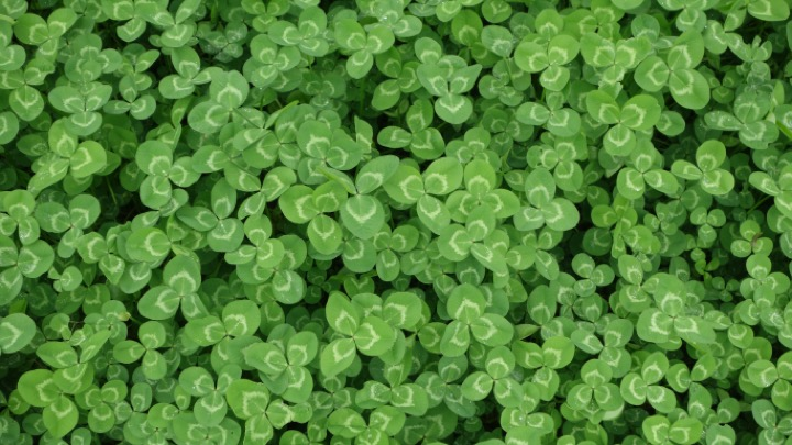 Clover image as a cover crop