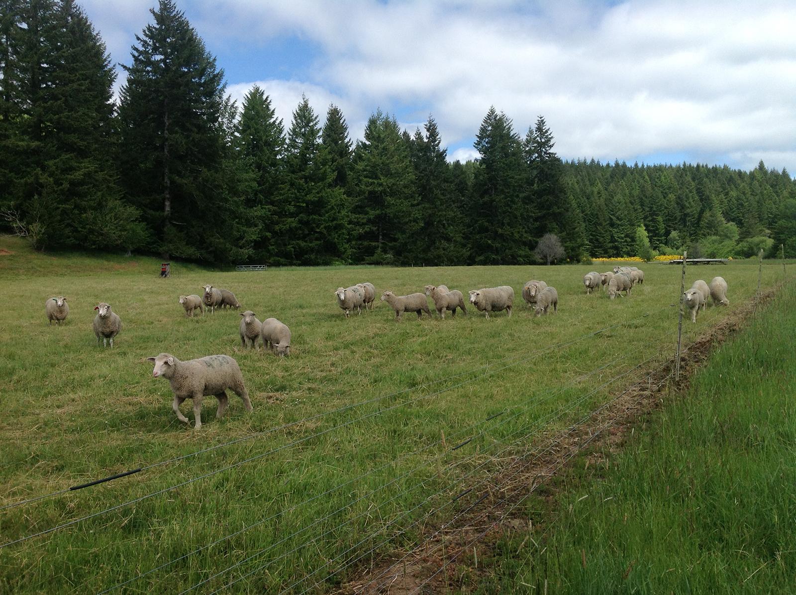 Sheep grazing - Grand Ronde - Bob Klinger's ranch