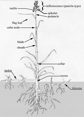 Grass structures forage information system oregon state university nomenclature of vegetative and floral structures grass diagram stolons rhizomes ccuart Image collections
