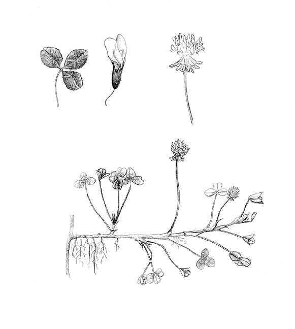 white clover forage information system oregon state university white clover tattoo white clover drawing