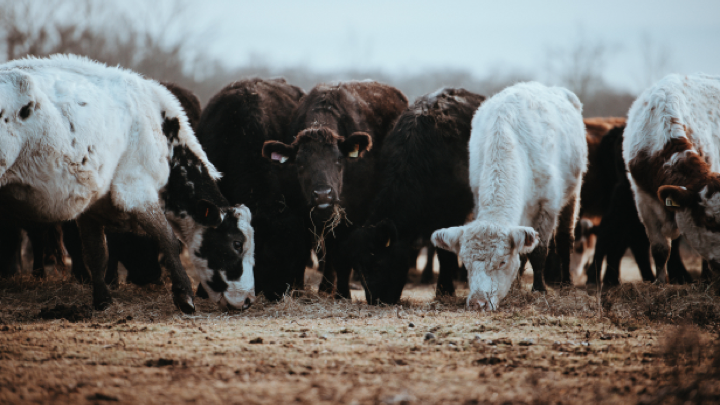 Image of cattle.
