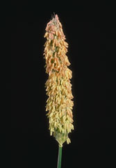 Meadow Foxtail: Inflorescence: Anthesis