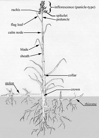 Provide The Vocabulary Needed To Identify Grasses Forage