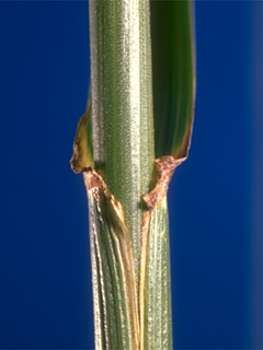 Images Of Tall Fescue Forage Information System Oregon