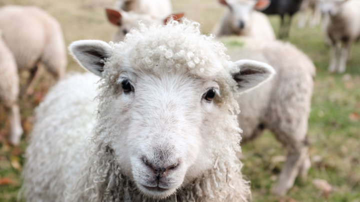 Image of a sheep.