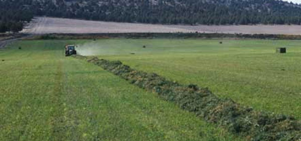 Alfalfa Windrow - Madras - Bob Rost photo credit