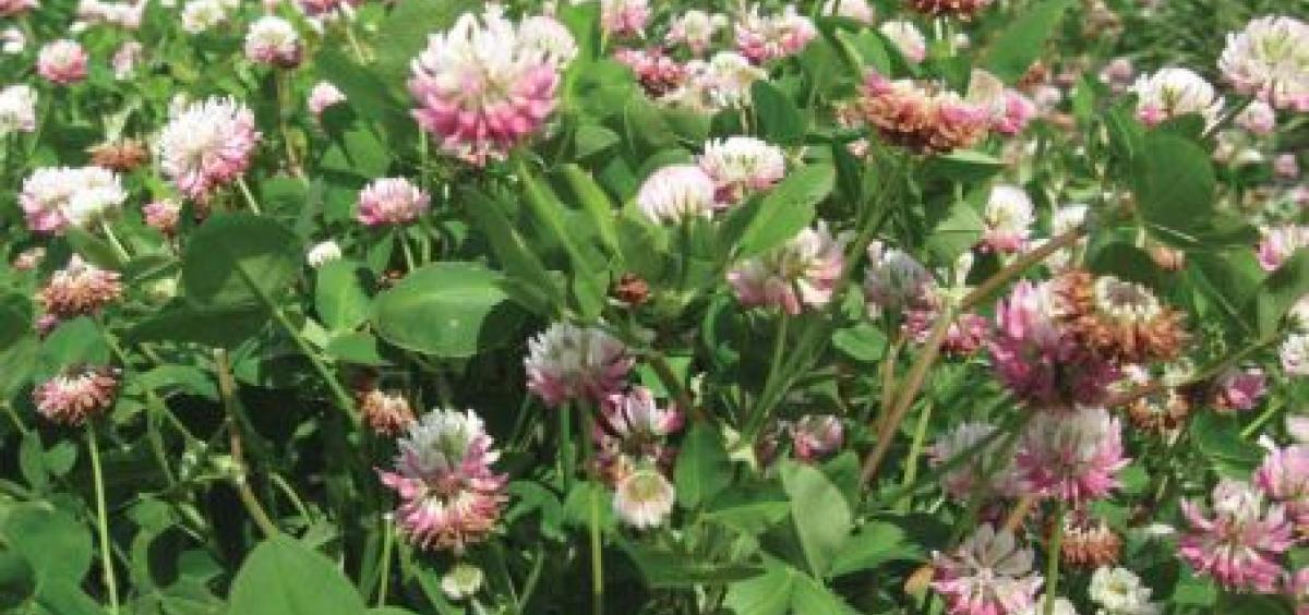 Alsike Clover field flowering - UTAS - Hall Hurst