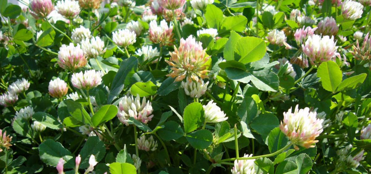 Balansa Clover field flowering - PastureGenetics
