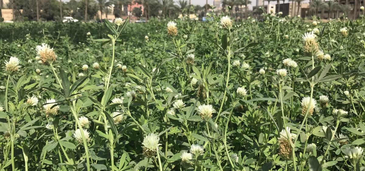 Berseem Clover field flowering - Eqypt - Ates