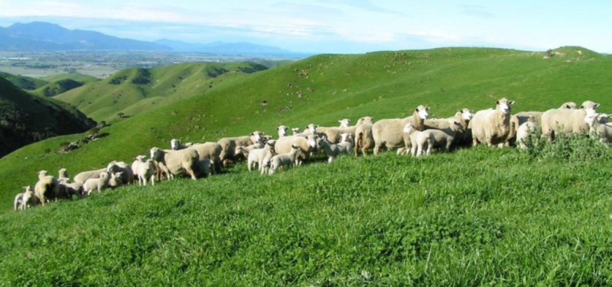 NZ subclover pasture - Jo Grigg