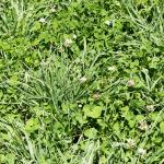 Alsike clover pasture mixture with prairie grass - Hollander