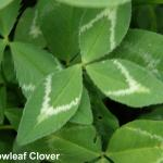 Arrowleaf leaves - MissSU web