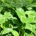 Arrowleaf leaves - TAMU web