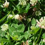 Balansa Clover field flowering with bee - Serkan Ates