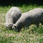 Balansa Clover field flowering with sheep - Serkan Ates