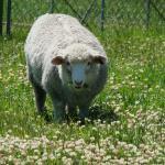 Balansa Clover field flowering with single sheep - Serkan Ates