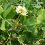 Balansa Clover leaves and inflorescence - Serkan Ates