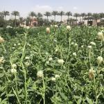 Berseem Clover field flowering Egypt - Ates