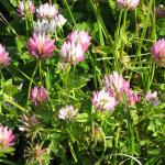 Gland Clover  field flowering Kiwi Seed Co (Marlb.) Ltd, NZ
