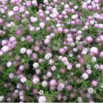 Gland Clover field flowering - Moot