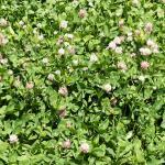 Kura (Caucasian) clover - field - Hollander