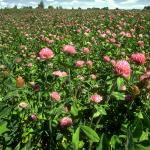 Red Clover Field Flowering