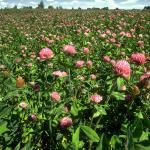 Red Clover Field Flowering