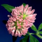 Red Clover Inflorescence