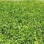 Red clover and plantain field - Hollander