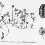 Strawberry clover plant and seed diagram - Chapman