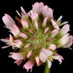 Strawberry clover inflorescence - GoBotany
