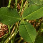 Strawberry clover leaf - Sikora