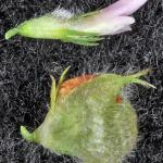 Strawberry clover flower seedpod - Robert Carr