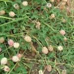 Strawberry clover inflorescence leaves field - web