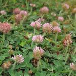 Strawberry clover field - FloreVirtuelle