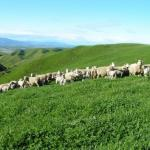 Sub clover hill pasture - Jo Grigg
