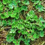 Sub clover plant - Hollander