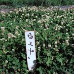 White Clover Flowering Field