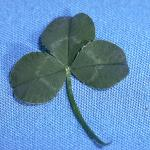 White Clover Leaves