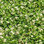 White clover field - Hollander