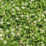 White clover field - Hollander