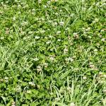 White clover and timothy field - Hollander