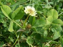 Balansa Clover leaves inflorescence - Serkan Ates