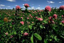 Red Clover field