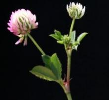 Gland Clover - closeup flowering stem leaflets - Avinoam Danin - Flora of Israel