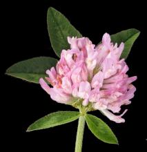 Red clover inflorescence - Hollander