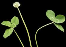 White clover inflorescence and leaves - Hollander