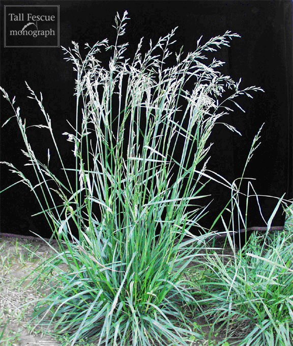 Tall fescue plant at flower