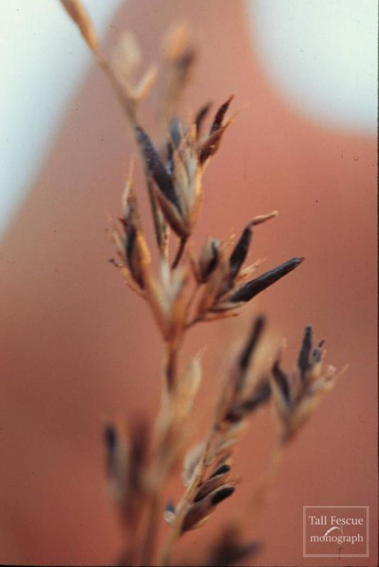Festuca sp. with sclerotia of Claviceps purpurea